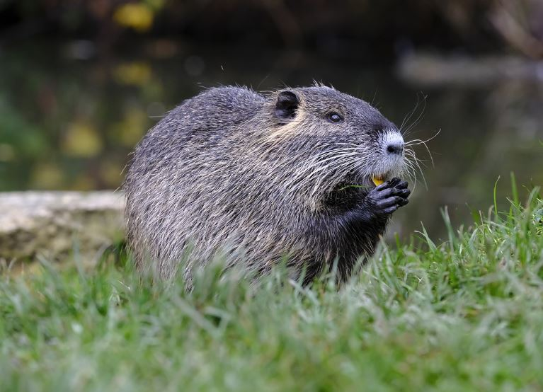 Data from Land Cover Map and Ordnance Survey was compiled and analysed with GIS and FragStats to determine the extent and distribution of suitable habitat for beaver in Dorset. The results indicate there are several areas within the county that would be suitable for a reintroduction