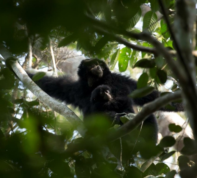 This study was undertaken to identify which structural vegetation variables are important indicators of habitat suitability for the lar gibbon Hylobates lar and the siamang Symphalangus syndactylus. Densities of lar gibbons were correlated with tree height, finding lower densities in areas where trees <20m. Siamang densities were highest when trees were between 20-30m in height, and a canopy connectivity of between 50-75%. These results indicated these hylobatid species exhibit a degree of tolerance and behavioural flexibility to habitat disturbance, though the preservation of tall trees and significant canopy connectivity is required for their continued presence in lowland forests.